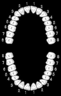 永久歯列2